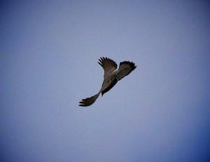 Pigeons Wings