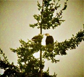 Eagles Perched 1