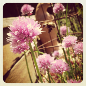 Bee and Flowering Chives